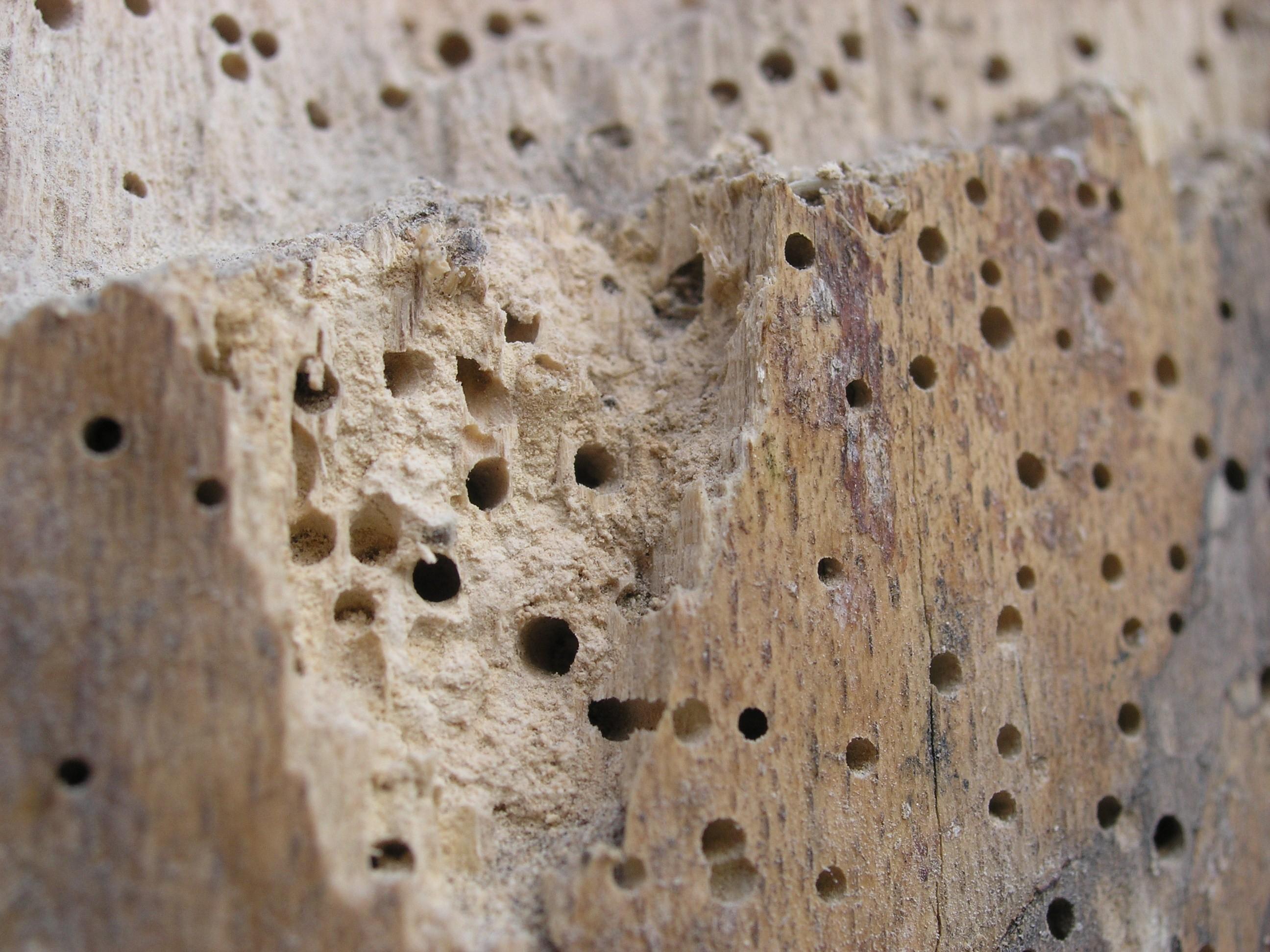 علاج سوس الاخشاب